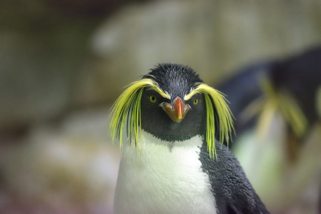 Penguin with long yellow feathers looking like large droppy eyebrows